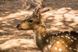 The chital or cheetal deer or spotted deer or axis deer is a species of deer that is native in the Indian subcontinent.