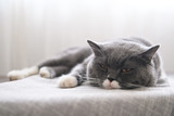 Cute British short hair cat, shot indoors - 199758798