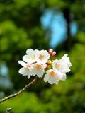 サクラの花 - 199761729