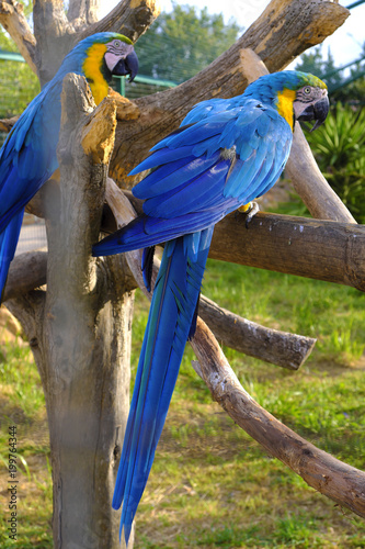 Fotobehang Papegaai Pair of Blue-and-yellow macaw parrot birds, known also as Blue-and-gold macaw, Ara ararauna, in a zoological garden