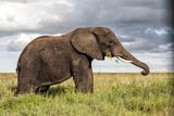 Elephant bull eating on the plains of Serengeti National Park in Tanzania