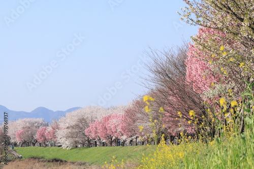 Fotobehang Blauwe hemel Cherry blossoms on Katsuragawa river bank