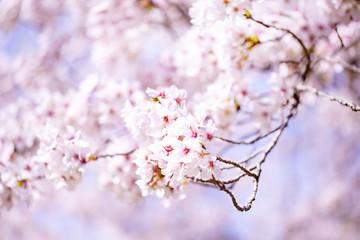 美しく咲き誇る満開の桜