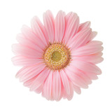 Light pink Gerbera flower isolated on white background. - 199770363