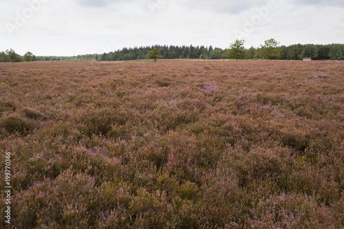 krajobraz z kwitnącym wrzosowiskiem w Holandii