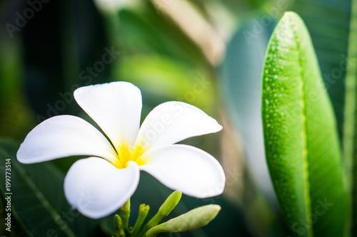 Fotobehang Plumeria white_plumeria_03