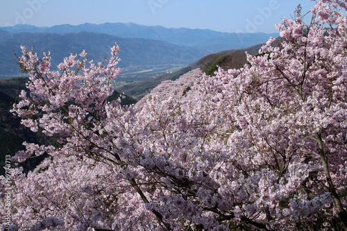 Fotobehang Lavendel 満開の桜