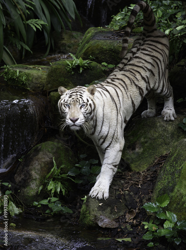 Plexiglas Tijger Tiger in a jungle. White Bengal tiger stands on a river bank with forest as background