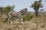 Fototapeta Zebra in Hluhluwe Game Reserve in Kwa Zulu Natal in South Africa