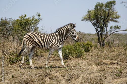 Zebra in Hluhluwe Game Reserve in Kwa Zulu Natal in South Africa