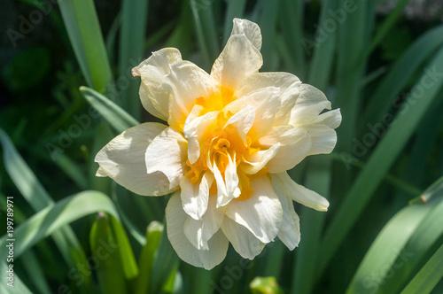 Podwójna lilia
