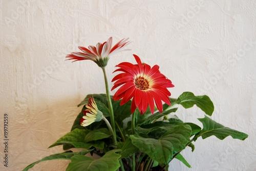 Aluminium Gerbera gerbera flowers