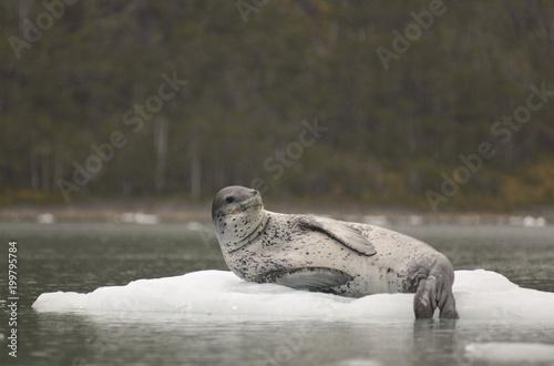Plexiglas Antarctica Leopard Seal