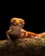 Smiley leopard Gecko Macro Photos