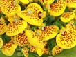 canvas print picture - Calceolaria