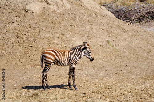 Little Zebra. Sigean safari park, France