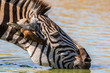 Portrait of a drinking zebra with a red-billed oxpecker in his ear in Mkuze Game Reserve in South Africa