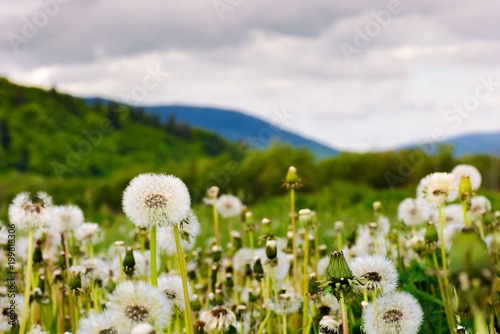 dandelion blossom on a rural field. beautiful countryside scenery in mountainous area - 199818306