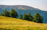forested hills of Carpathian mountains. beautiful summer landscape. beech trees on a grassy hillside meadow. mountain Apetska in the distance