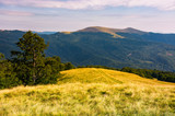 beech tree on grassy hillside in evening. beautiful landscape of Svydovets ridge in summertime