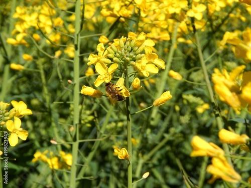 Plexiglas Bee La danse