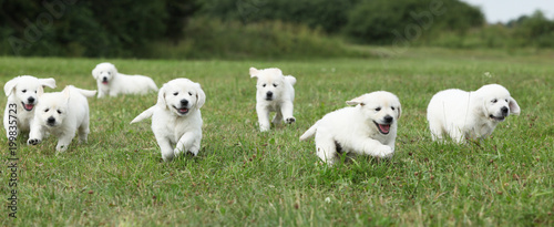 Beautiful Group Of Golden Retriever Puppies Running Buy Photos
