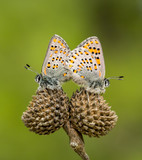 Butterfly in nature (Tomares nesimachus)