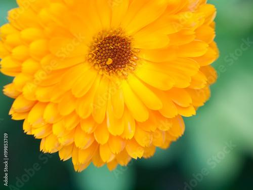 Foto Murales Orange flower calendula Background. Extreme macro shot