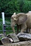Elephant flapping ears