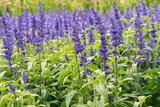 blue sage flowers in bloom growing in herbal garden - 199875143