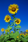 Beautiful sunflowers in the field planted on a blue sky background.