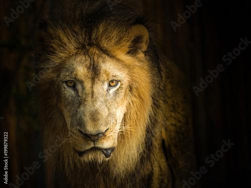 Plexiglas Lion Detail on the face of the elegant male lion.