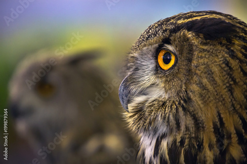Detailed design on the face of the Eagle Owl / An eagle owl.