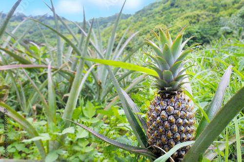 Pineapple grows in a field in Rarotonga Cook Islands
