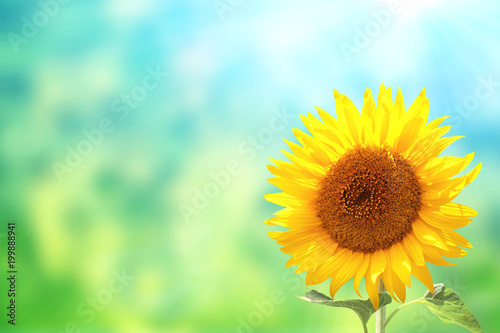 Sunflowers on blurred sunny background - 199888941