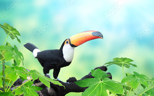 Foto op Canvas Natuur Horizontal banner with beautiful colorful toucan bird