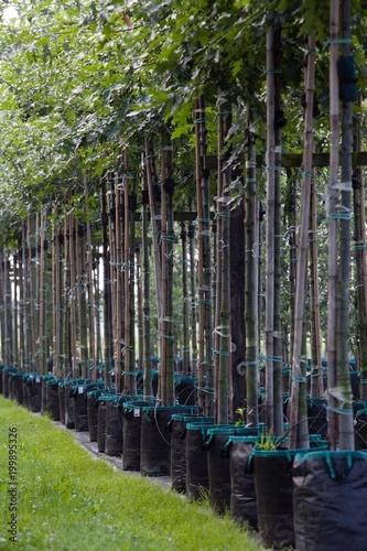 Fotobehang Berkenbos Tree nursery