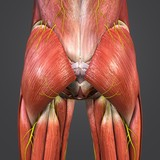 Hip Muscles and Bones with Nerves - 199897982