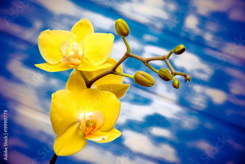 Branch of a white orchid lies on a blue wooden background  - 199901778