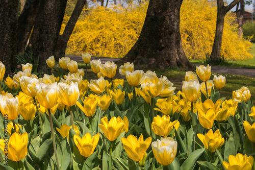 Fotobehang Betoverde Bos Bosco incantato con la fioritura dei tulipani gialli al parco giardino Sigurtà, Valeggio sul Mincio