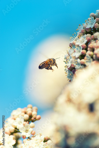 Foto op Canvas Natuur Bee flying on flowers