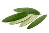 Fresh olive leaves