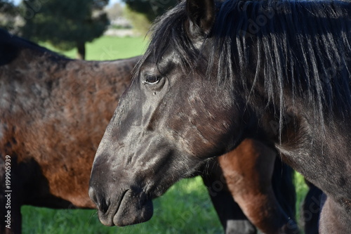 Fotobehang Paarden MURGESE HORSE. Italian equine breed of the Murge (Puglia, Italy), bred in the wild since the twentieth century in the old farms. Its origins date back to the era of Spanish domination. Close up