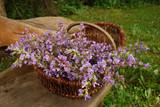 Salbei, Blüten, frisch gesammelt, in einem Korb - 199915339