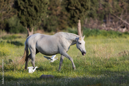 Fotobehang Paarden Horse eating grass with Egrets waiting for any unearthed worms.