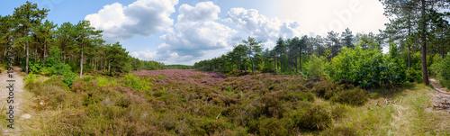 Panorama wrzosowiska na wydmach w pobliżu Schoorl / NL