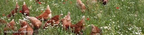 Darmowy zestaw z kurczakiem. Drób