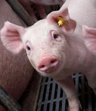 Pigs breeding. Piglets. - 199918931
