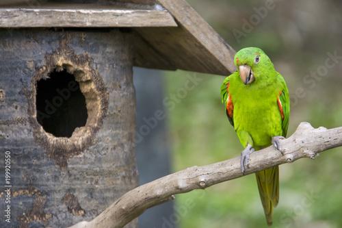 Fotobehang Papegaai Rose-Ringed Parakeet (Psittacula Krameri) in Songkhla zoo Thailand