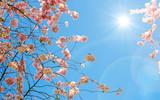 Glückwunsch, alles Liebe: Zarte, duftende, verträumte Kirschblüten vor blauem Frühlingshimmel :) - 199932742